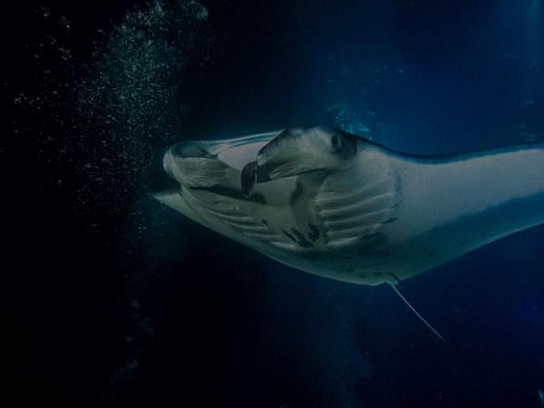 Big Island Divers home tile manta