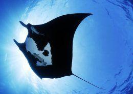 Sea Quest manta ray sea creature wide  e