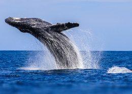 holo holo charters humpback whales