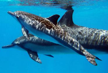 ko olina ocean adventures dolphins