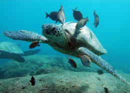 ko olina ocean adventures turtle