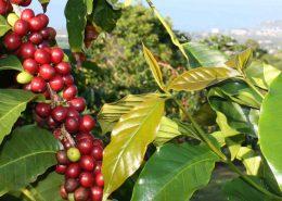 kohala zipline coffee