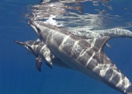 kona honu divers dolphins