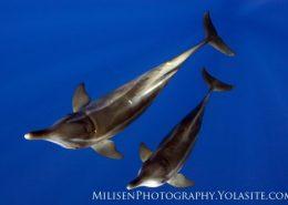 kona honu divers steno bredanensis pair watermarked