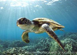 kona honu divers turtle