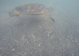 pacific island institutte turtle