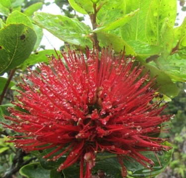 kauai hiking tours ohia IMG